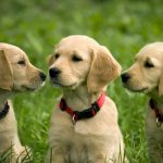 How to Choose the Right Puppy For Your Home